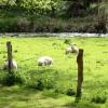 Hauskoppel mit Schafen