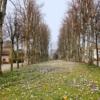 Krokusblüte Dorfanger in Barsbek