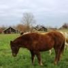 Ponys auf der Hausweide vor der Einstallung im Winter